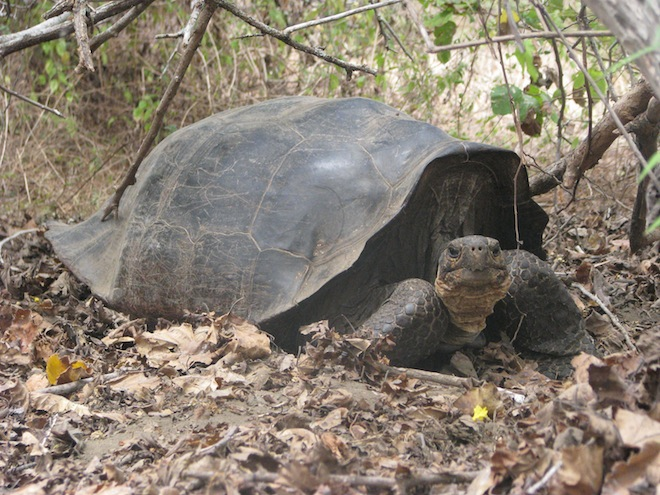 Extinct Giant Tortoise May Still Be Alive in Remote Island
