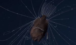 Mating of Two Anglerfish: Startling Phenomenon You Force to Know
