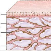 Scientists Have Discovered a New Organ interstitium in Humans Body