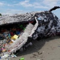 Sperm Whale was Found Dead After Swallowing 64 Pound of Plastic Debris