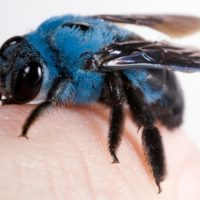 Not All the Bees Are Yellow; Here is a Blue Carpenter Bee
