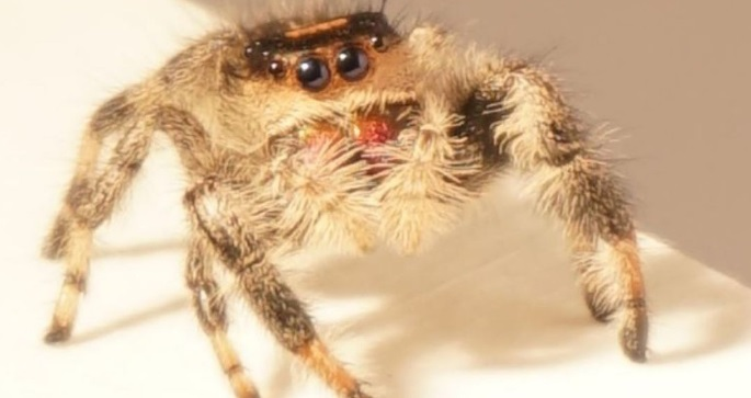 Spider Is Trained to Jump So That Scientists Can Build Better Robots
