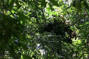 chimpanzee nest built in a tree