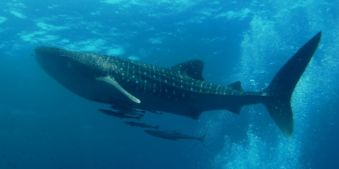 Whale Shark-Top 10 Facts About Largest Shark in The Ocean