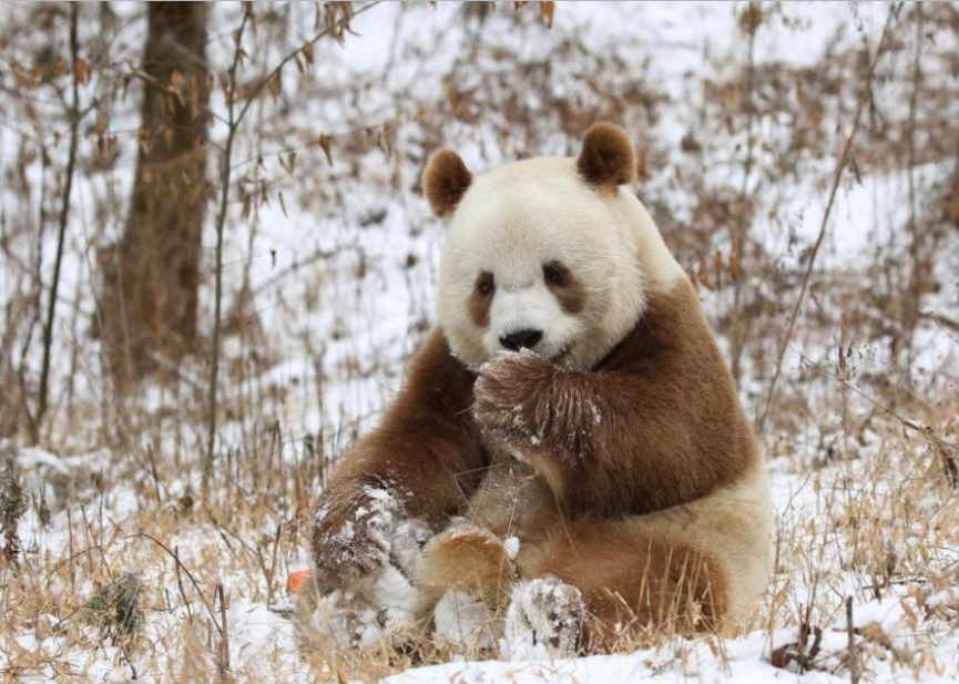 Qizai Is the Only Brown Panda Around the World