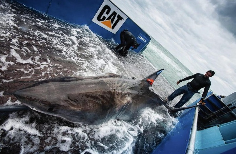 Two Great White Sharks Were Found in Warm-Water Eddies