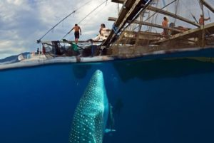 whale shark is the largest non-cetacean animal in the world