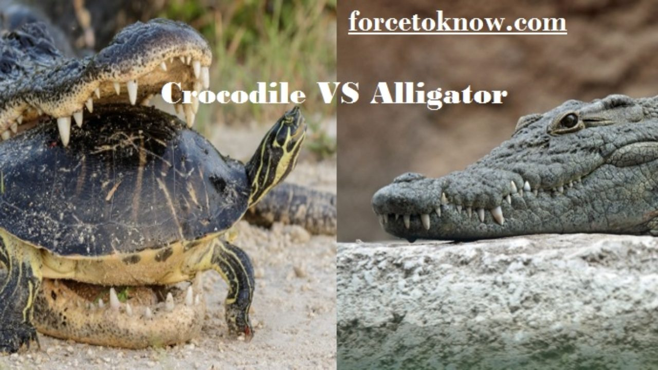 4c8ddfad What Is the Difference Between Alligators VS Crocodiles?