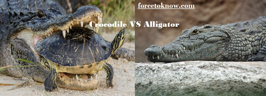 What Is the Difference Between Alligators VS Crocodiles?