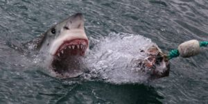 """Great White Shark Capital of the World."""