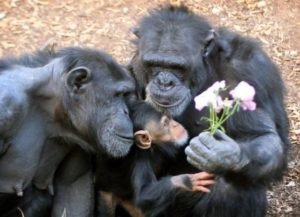 in our top 10 Chimpanzees aremost intelligent animals
