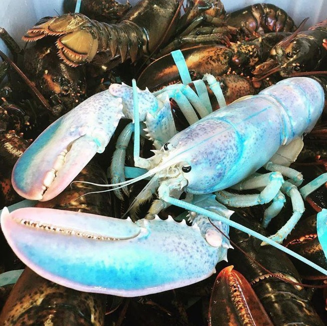 Cotton Candy-Colored Lobster Is Very Rare Phenomenon
