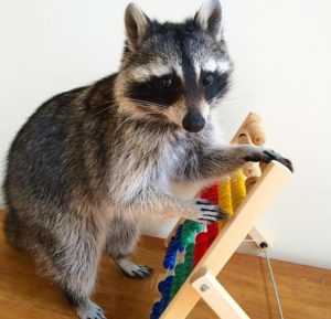 raccoons were able to open 11 of 13 complex locks in fewer than 10 tries