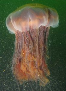 jellyfish species don't have brain, but don't get surprised, instead they have nerve nets