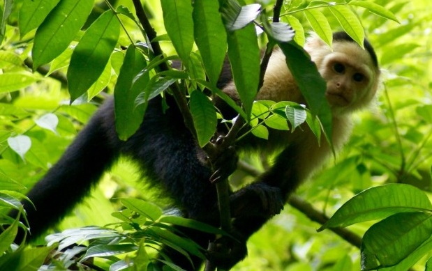 Why Does Panama Monkeys Use Stone Tools for Breaking Nuts?