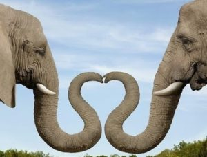 elephants can understand the difference between languages and whether a man, woman, or child is speaking