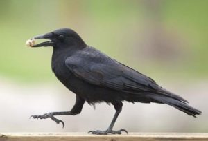 Crows are clever problem-solvers
