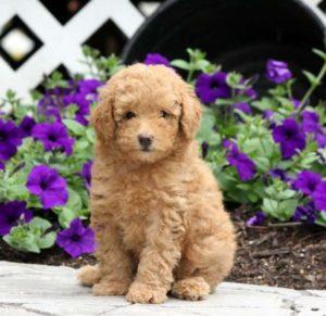 Toy Poodle – 6-7 kg