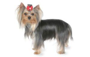 Yorkshire Terrier- 1.3-3.2 kg