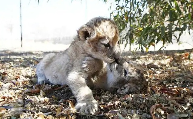 These are the first ever lion cubs to be born by means of artificial insemination
