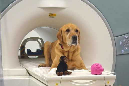 Eddie, one of the dogs that participated in the study, poses in the fMRI scanner with two of the toys used in the experiments_ Image via Gregory Berns_Image credit_earthsky.org