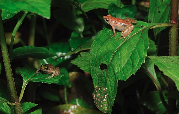 Uncommon Gold Frog Has Been Found in Southwestern Ethiopia