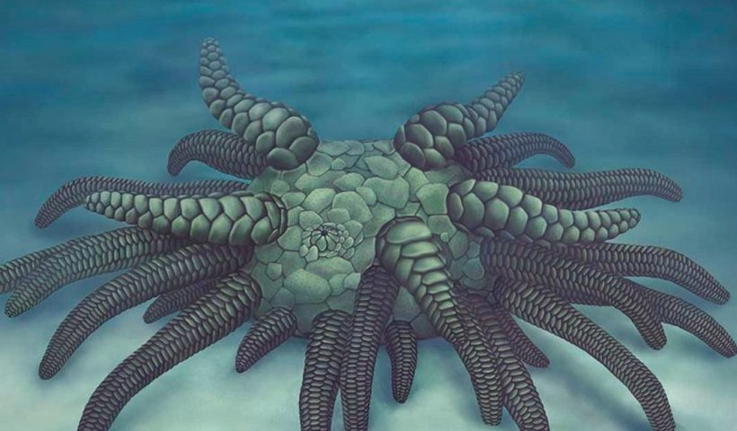 The fossil which is very tiny is the creature known as Sollasina cthulhu. The creature had 45 tentacle-like tube feet that it used to crawl along the floor of the ocean and capture food