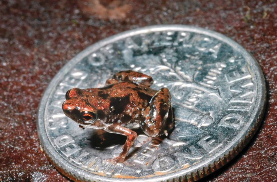 Meet the Smallest Frog in the World with 7.7 mm in Length