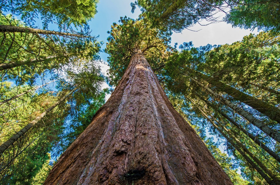 What Is the Tallest Tree in the World?