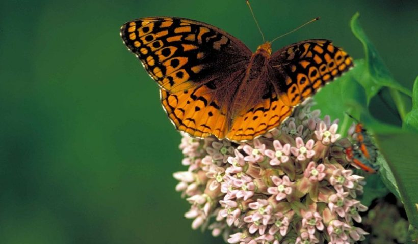 The Study Has Discovered that Butterflies Are Disappearing in Ohio