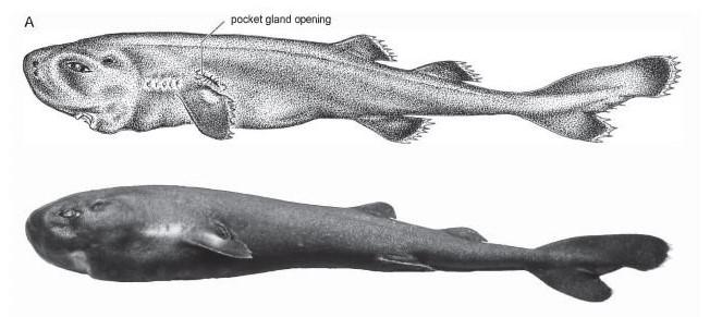 Scientist Identified New Species of Pocket Shark That Glows in The Dark