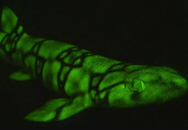 Why Does Swell Shark Glow Green in the Deep Ocean?