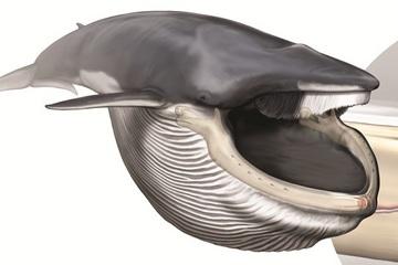 Rorqual Whale